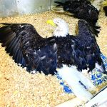 Bald eagle hit by car while eating